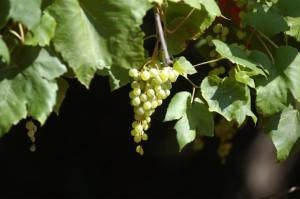 italian winefest orsos history